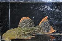 B,オレンジフィンレオパード-3